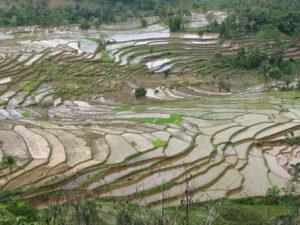 coltivazione Oriente riso
