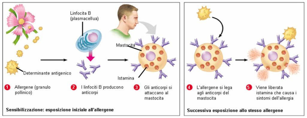 processo di sensibilizzazione ad Allergie Alimentari