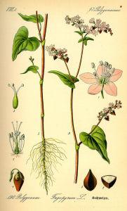 pianta fiori semi farina di grano saraceno